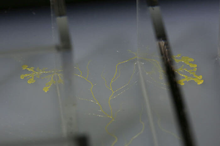 The PhysarumExperimentsStudy019TheMaze_film still2_©HeatherBarnett.jpg copy
